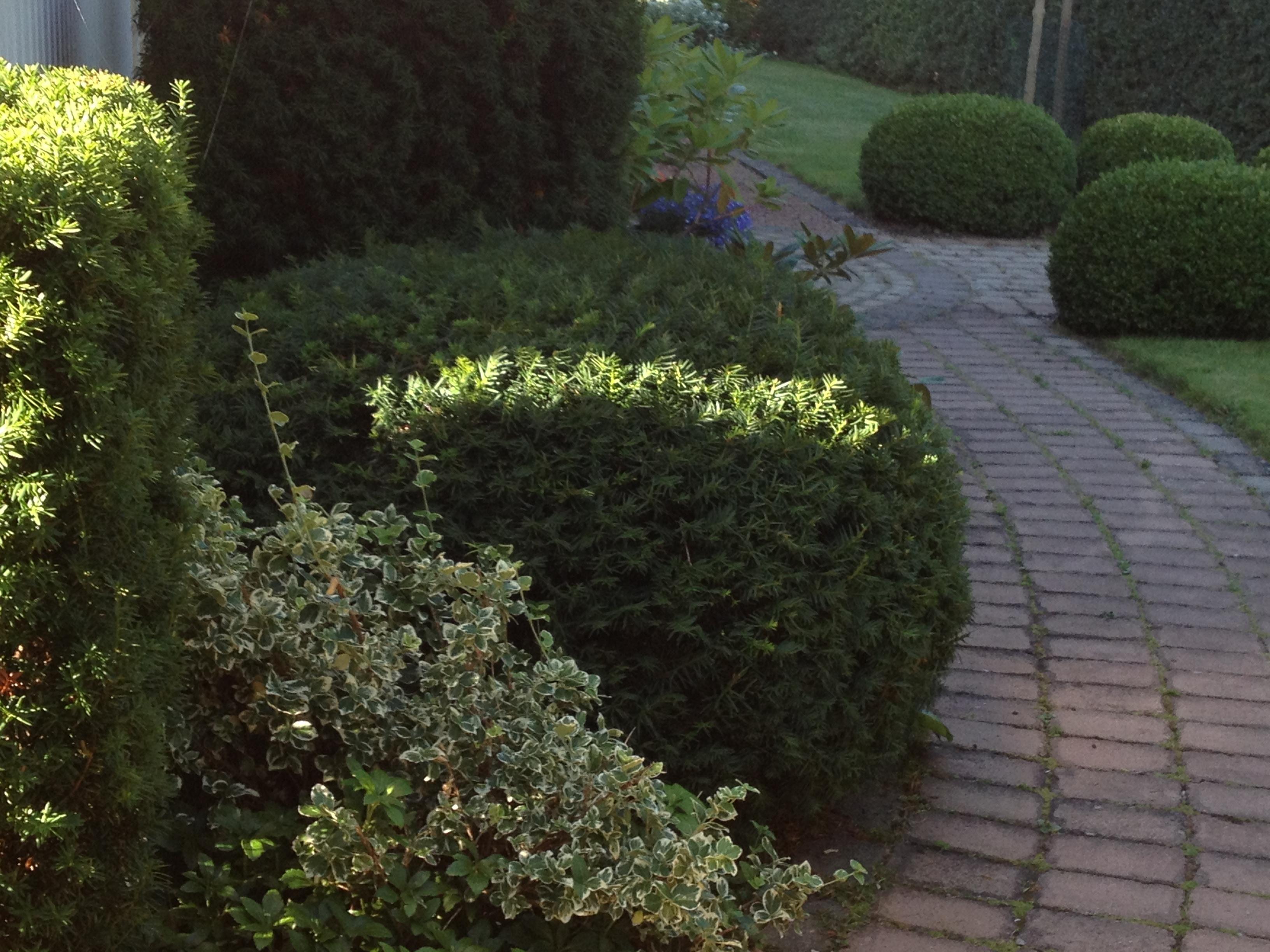 alltid gröna buskar