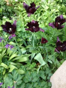 svarta-tulpaner
