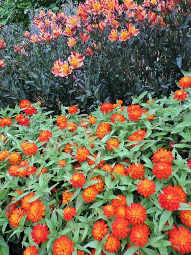orangeblom