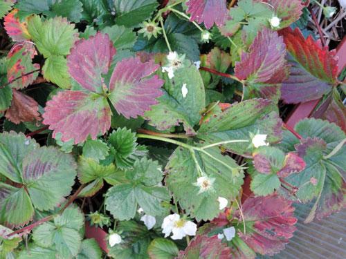 jordgubbsplantor