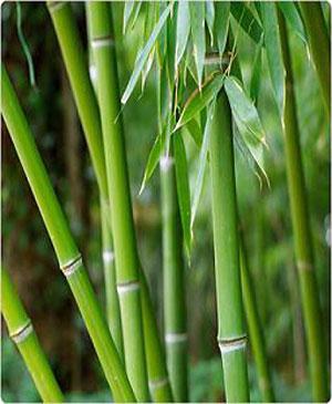bambuomgjord