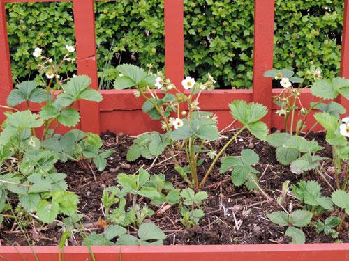 jordbubbsplantor